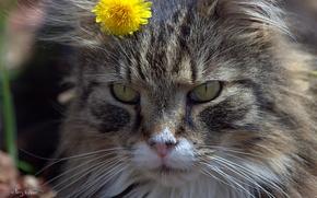 Picture cat, flower, cat, face, dandelion
