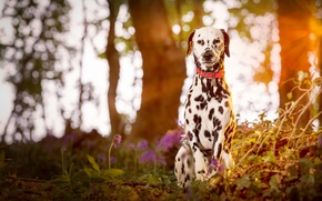 Picture puppy, wood, dog, dalmatian