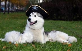 Picture Wallpaper, dog, hat, husky