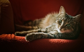 Picture cat, look, chair, grey, striped