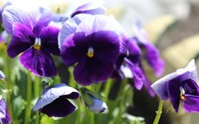 Picture Flowers, Flowers, purple, Purple, Anutiny eyes