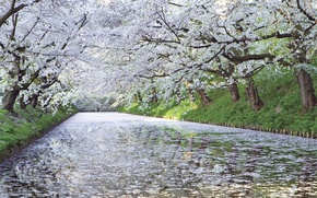 Wallpaper cherry, river, tree, Japan, Sakura, blooms