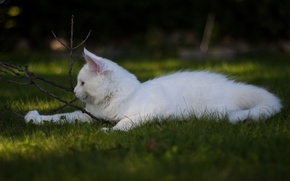 Picture white, grass, cat, the game