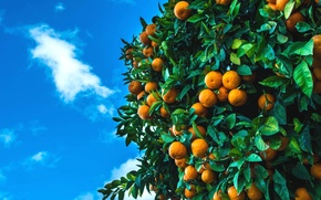 Picture the sky, tree, fruit, fruit, citrus, tangerines