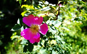 Picture flower, summer, the sun