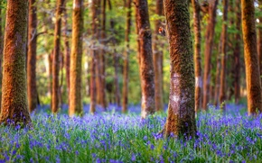 Picture forest, trees, landscape, flowers, nature, England, bells