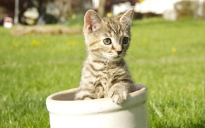 Picture grey, striped, lawn, Kitty