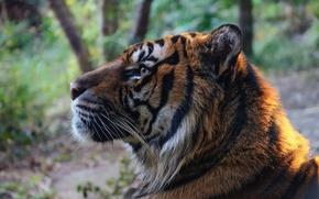 Picture face, tiger, predator, profile, wild cat