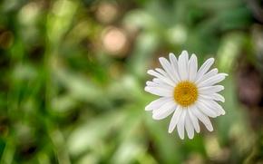 Picture macro, Daisy, bokeh