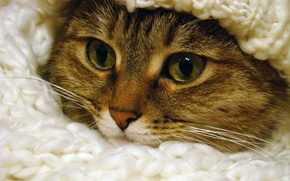 Picture eyes, cat, fur