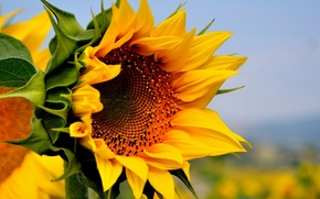 Picture field, flower, summer, yellow, nature, sunflower