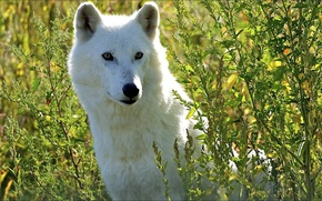 Picture white, wolf, sitting, in the grass