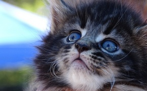 Picture muzzle, kitty, Maine Coon