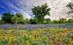 Picture flowers, field, lupine