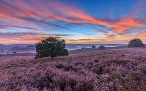 Picture trees, sunset, Netherlands, meadows, Netherlands, Heather, National Park Veluwezoom, Gelderland, Veluwezoom National Park, Gelderland, Posbank, …