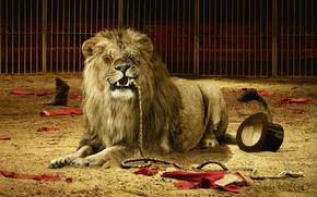 Picture cat, animals, Leo