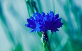 Picture flower, macro, blue, blur, voloshka, Cornflower
