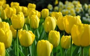 Picture field, petals, stem, meadow, tulips, flowerbed