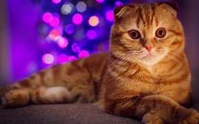 Picture cat, tree, portrait, red, New year, garland, bokeh, Scottish fold