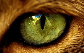 Wallpaper eyes, reflection, animal, wool, the pupil, beast, cat