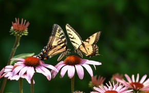 Picture butterfly, flowers, two, pink, swallowtail, Echinacea