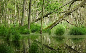 Picture forest, reflection, swamp, sedge