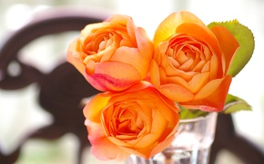 Picture glass, rose, garden, apricot, lady emma hamilton