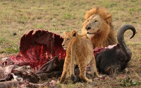 Picture LEO, BLOOD, HUNTING, FOOD, PREDATOR, The SITUATION, BONES, The VICTIM, LIONESS, MEAT, The REMAINS, EYES, …