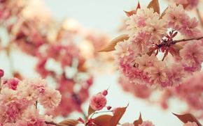 Wallpaper the sky, leaves, trees, flowers, branches, branch, color, spring, petals, Sakura, pink, flowering