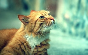 Picture eyes, cat, red, looks, beautiful