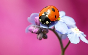 Picture flower, macro, background, pink, ladybug, insect