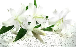 Picture water, flowers, droplets, leaves, white lilies