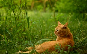 Picture grass, cat, stay, red