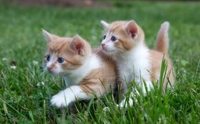 Picture grass, kittens, walk, kids, a couple, twins
