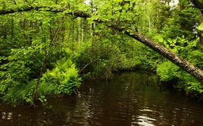 Picture trees, river, Forest, greens.