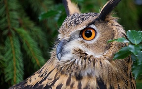 Picture owl, bird, portrait, owl, Virgin Filin
