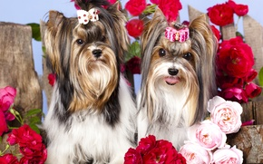 Picture dogs, flowers, girls, roses, bow, barrette