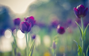 Picture colors, summer, flowers, beautiful, tulips, bokeh, purple