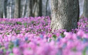 Wallpaper lilac, spring, a lot, violet