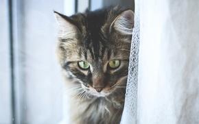 Picture eyes, Tomcat, Kote, polosaty