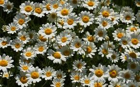 Wallpaper chamomile, a lot, loves me - loves me not
