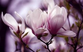 Picture flowers, sprig, petals, flowering, Magnolia