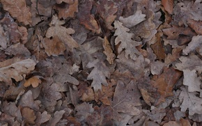 Picture autumn, leaves, ice, brown, oak, oak grove