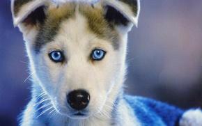 Picture eyes, puppy, husky, doggie