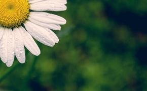 Picture white, flower, flowers, widescreen, Wallpaper, petals, Daisy, wallpaper, flower, green background, widescreen, background, full screen, …