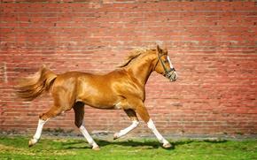 Picture grass, wall, horse, brick, running