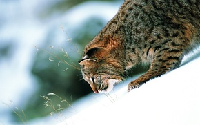 Picture cat, snow, paw, slide, contrast, beautiful, ears, wild