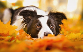 Picture sadness, autumn, eyes, face, leaves, dog, lies, the border collie, porter, Wallpaper from lolita777