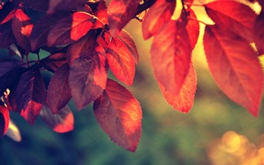 Picture red, nature, leaf, plant, sunlight