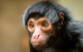 Wallpaper look, monkey, Black spider monkey